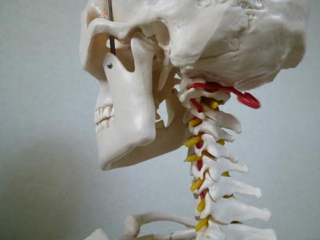 頸椎の模型、神経根などの様子